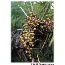 Saw Palmetto  - Sabal - (Serenoa reppens) 60 pills