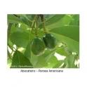 Avocado blaetter 500g