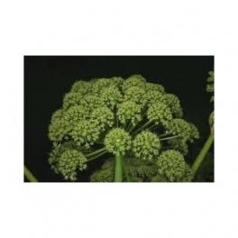Angelica officinalis