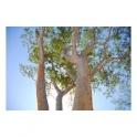Anadenanthera coluprina (Angico branco) bark 500g