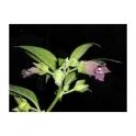Belladonna (Atropa belladona L)  leafs 120 caps 300mg