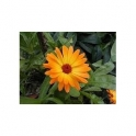 Marigold - Calendula officinalis 500g