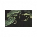 Knotweed (Polygonum) 500g