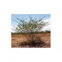 Mimosa acutistipula  (Jurema preta)  500g bark