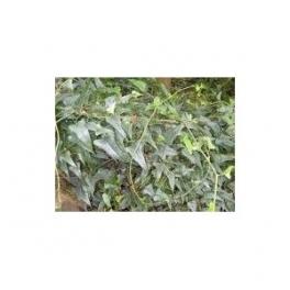 Smilax officinalis