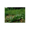 Common plantain - Tanchagem (Plantago major)  500g